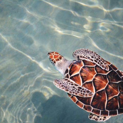 Imitation Tortoiseshell